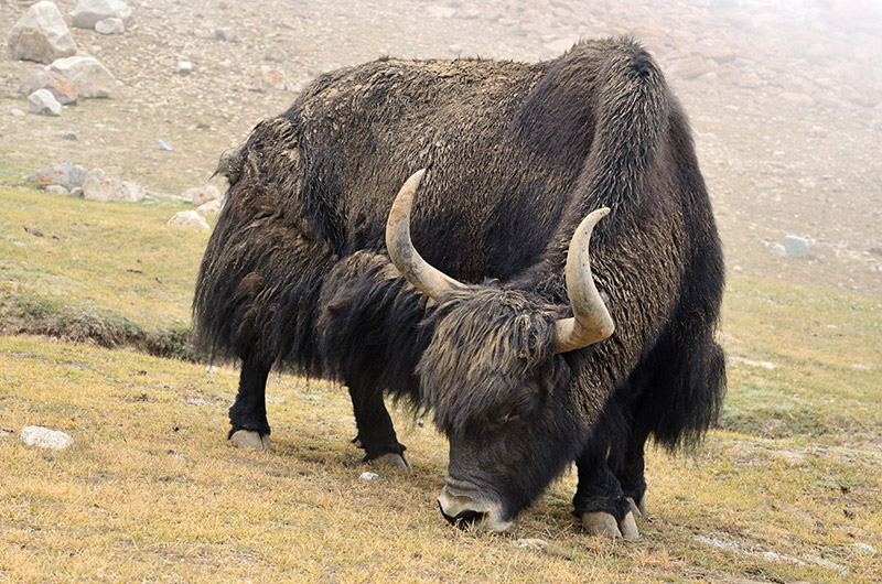 Image Of A Yak: Dr. King's Farms